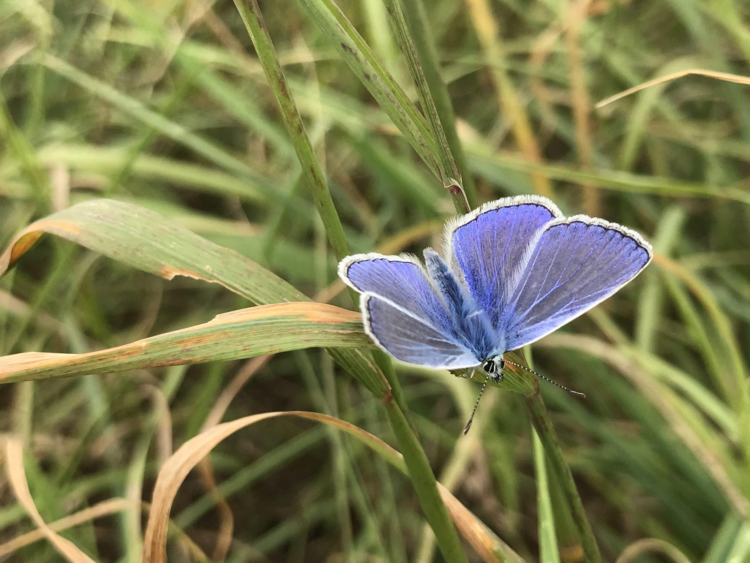 Lepidoptarium Icarusblauwtje