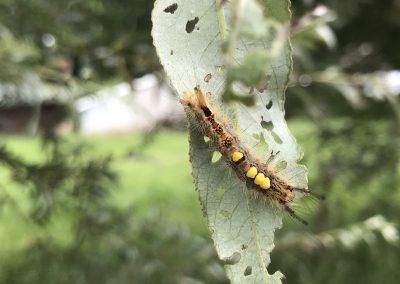 Lepidoptarium rups
